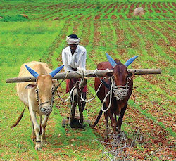 Farming Indian style