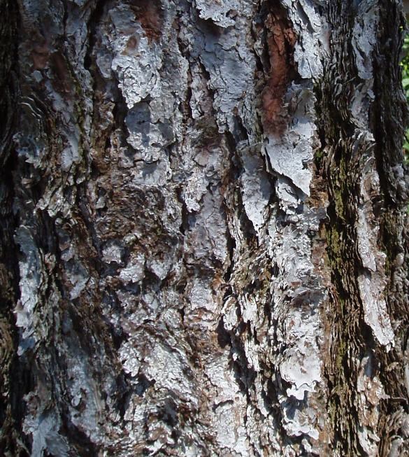 White bark, close-up